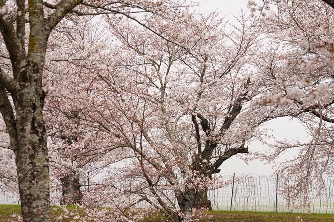 桜_2021_27 七谷川 No15