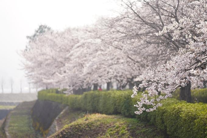 桜_2021_27 七谷川 No20