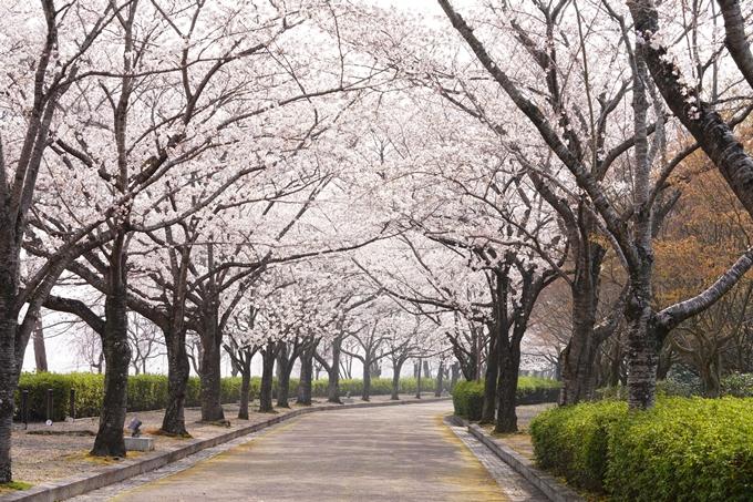桜_2021_27 七谷川 No22