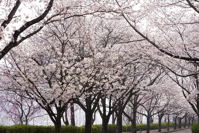 桜_2021_27 七谷川 No23