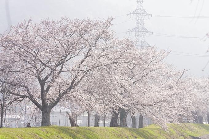 桜_2021_27 七谷川 No25