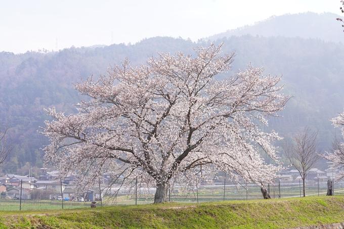 桜_2021_27 七谷川 No26