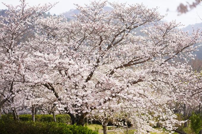 桜_2021_27 七谷川 No27