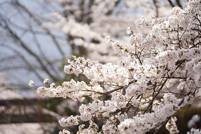 桜_2021_27 七谷川 No30