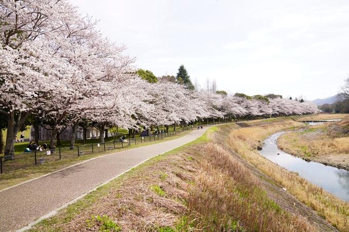 桜_2021_31 亀岡運動公園 No2