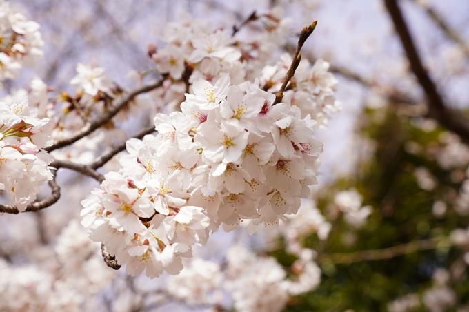 桜_2021_31 亀岡運動公園 No5