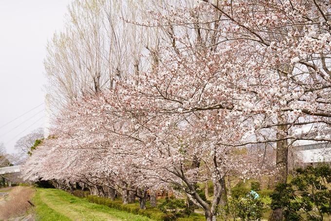 桜_2021_31 亀岡運動公園 No7