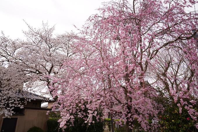 桜_2021_32 篠村八幡宮 No2