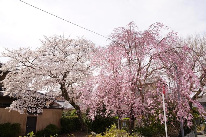 桜_2021_32 篠村八幡宮 No8