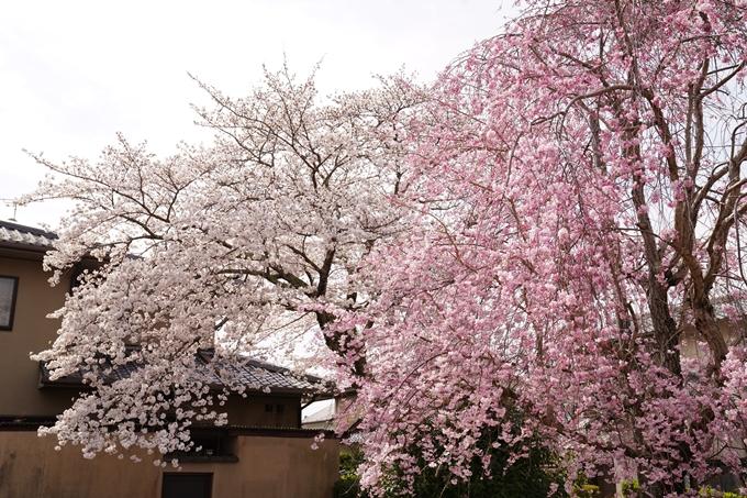 桜_2021_32 篠村八幡宮 No9