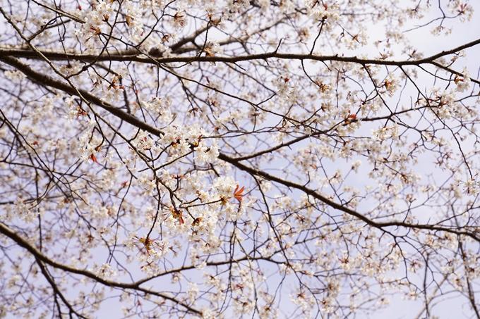 桜_2021_33 長尾山 No5