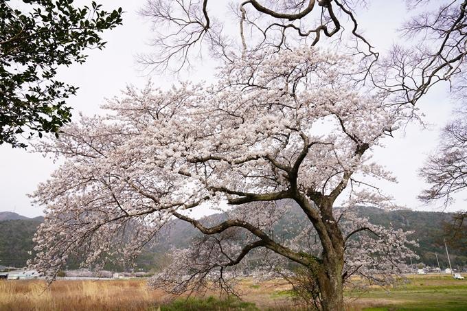 桜_2021_34 丹波国分寺跡 No3