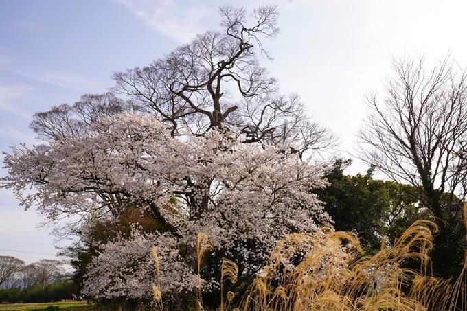 桜_2021_34 丹波国分寺跡 No7