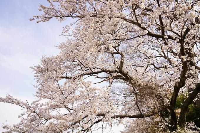 桜_2021_34 丹波国分寺跡 No9