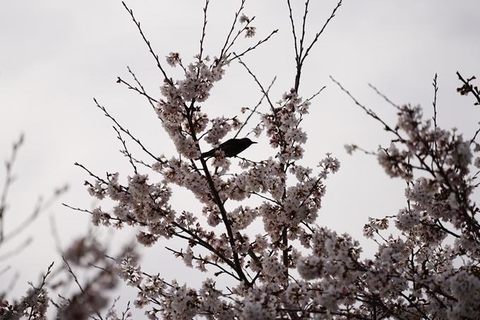 桜_2021_35 大井外地 No12