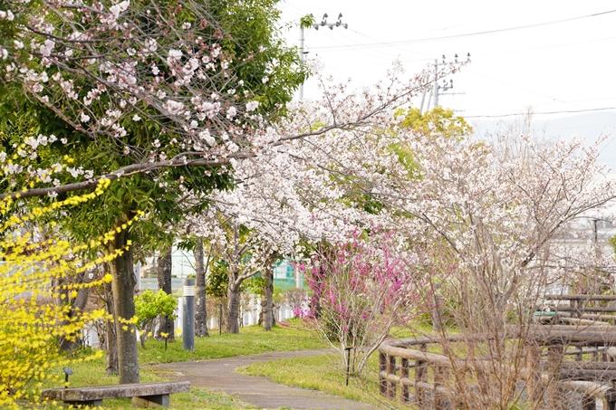 桜_2021_36 大藪公園 No2