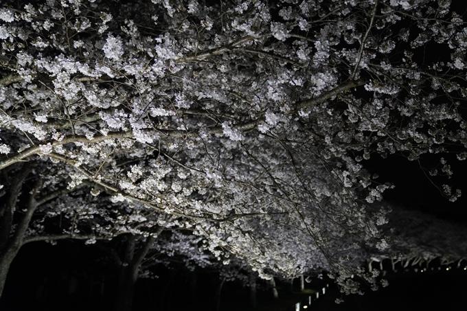 桜_2021_37 亀岡運動公園_ライトアップ No3