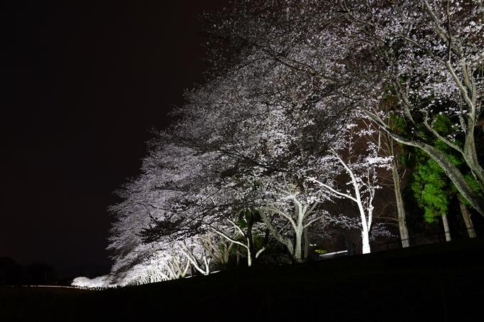 桜_2021_37 亀岡運動公園_ライトアップ No4