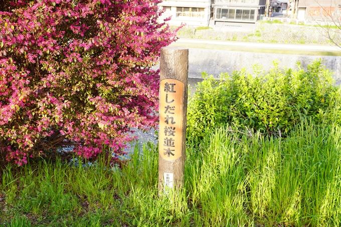 桜_2021_42 三条大橋 No2