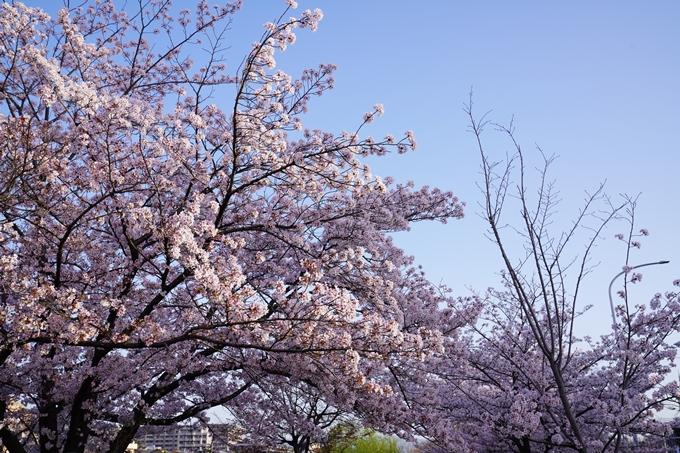 桜_2021_42 三条大橋 No14