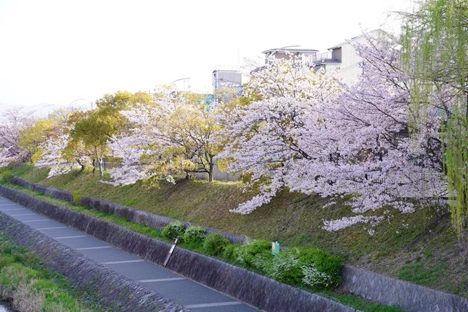 桜_2021_42 三条大橋 No16