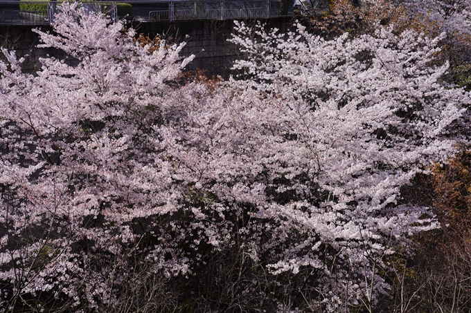 桜_2021_43 JR保津峡駅 No6