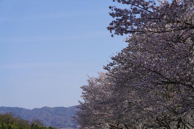 桜_2021_46 大堰川堤防_02 No4