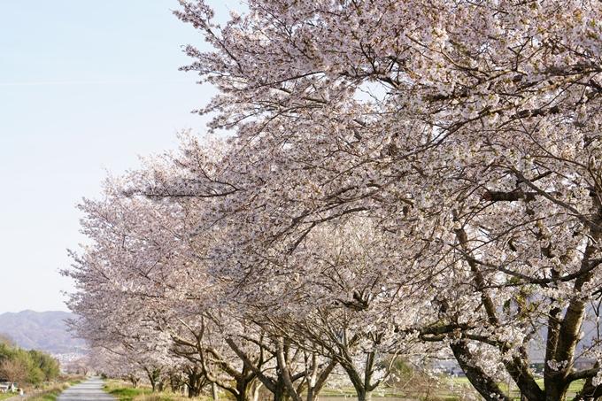 桜_2021_46 大堰川堤防_02 No8