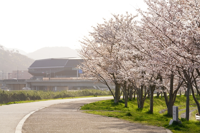 桜_2021_47 保津川堤防 No8