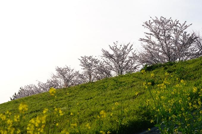 桜_2021_47 保津川堤防 No13