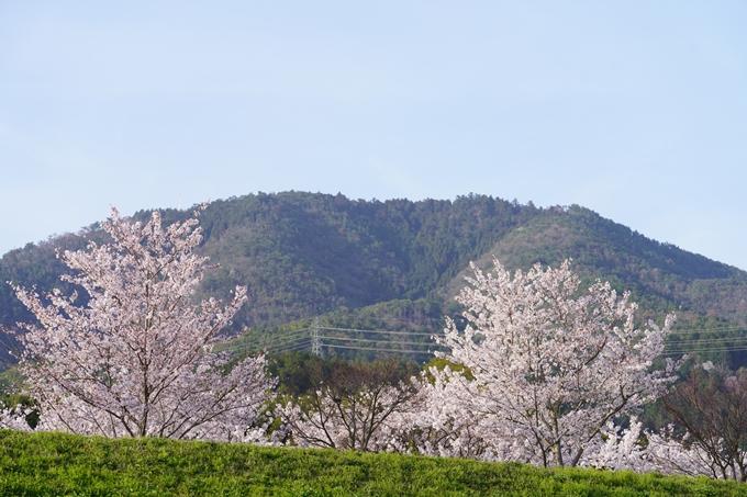 桜_2021_47 保津川堤防 No15
