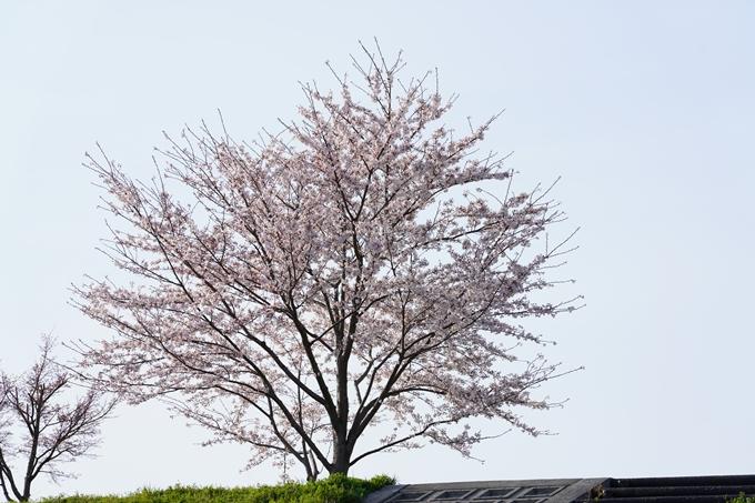 桜_2021_47 保津川堤防 No16