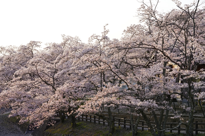 桜_2021_49 七谷川_02 No3