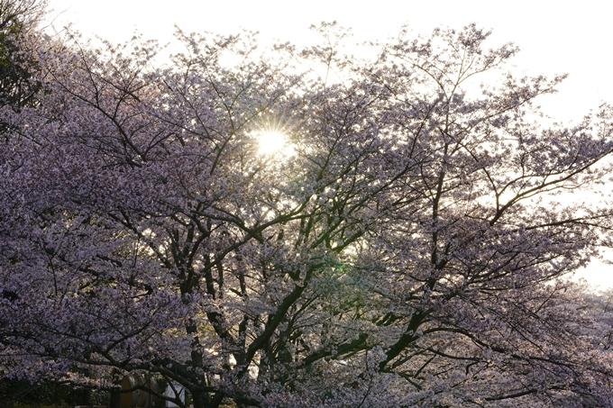 桜_2021_49 七谷川_02 No4