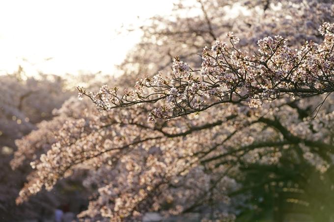 桜_2021_49 七谷川_02 No7