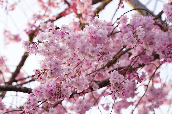 桜_2021_49 七谷川_02 No17