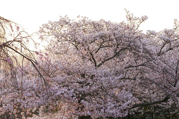 桜_2021_49 七谷川_02 No18