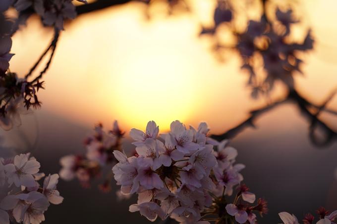 桜_2021_49 七谷川_02 No20