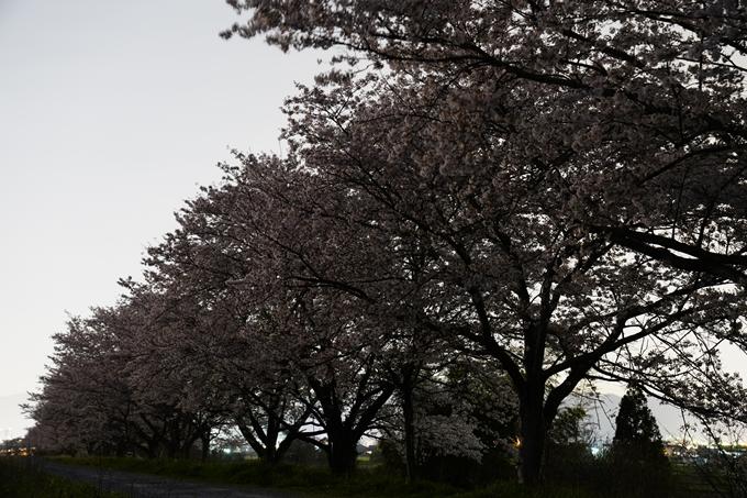 桜_2021_50 月明かり No4