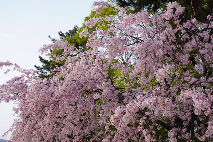 桜_2021_51 半木の道 No2