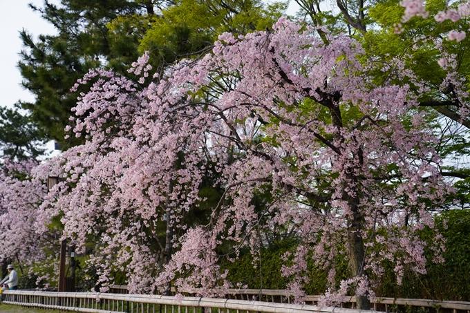 桜_2021_51 半木の道 No3