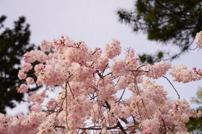 桜_2021_51 半木の道 No8