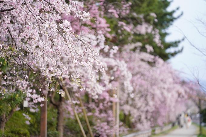 桜_2021_51 半木の道 No16