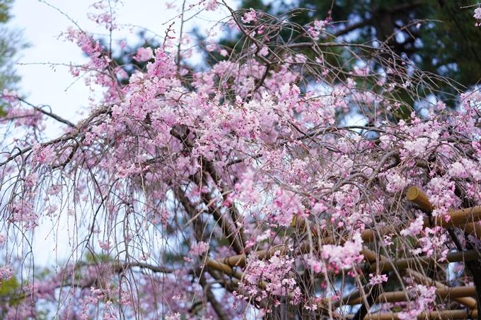 桜_2021_51 半木の道 No17