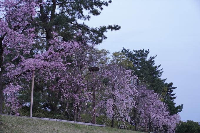 桜_2021_51 半木の道 No19