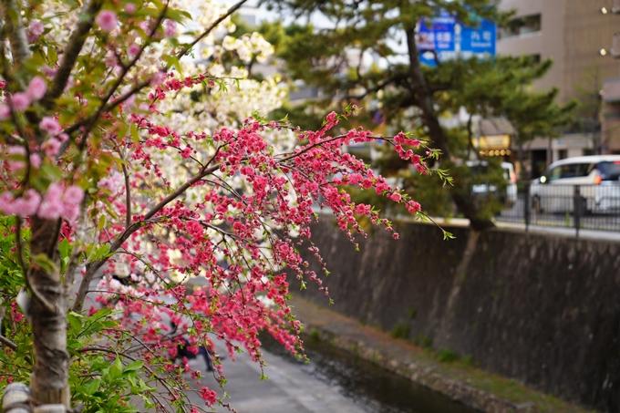 桜_2021_52 堀川 No6
