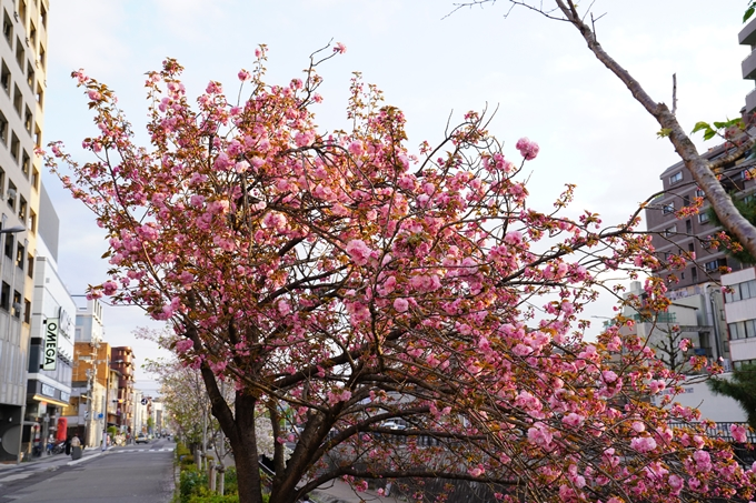 桜_2021_52 堀川 No15