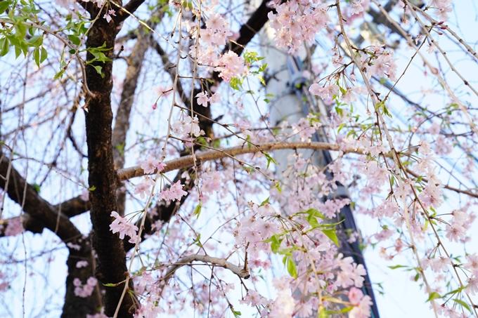桜_2021_53 京都地方裁判所 No10